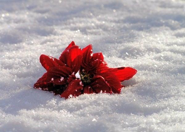 Bloem in Sneeuw