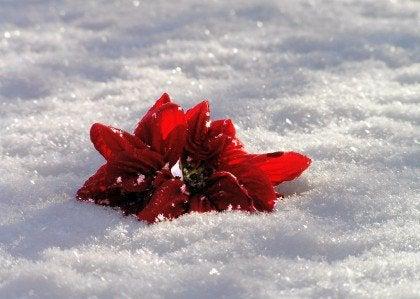 Bloem in de Sneeuw