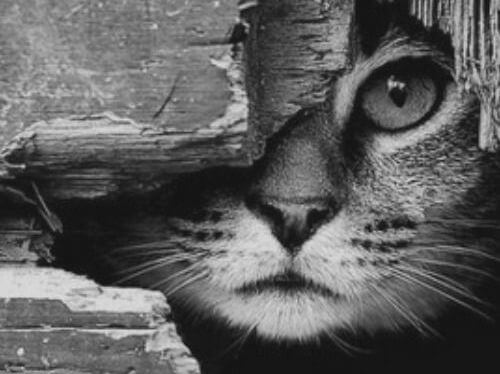 Gevlekte Kat