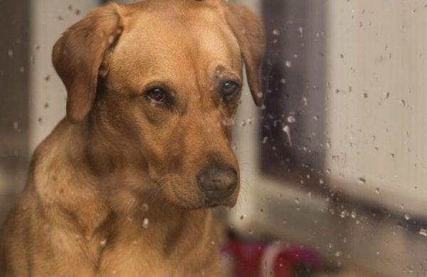 Droevige Hond Die Uit Het Raam Kijkt