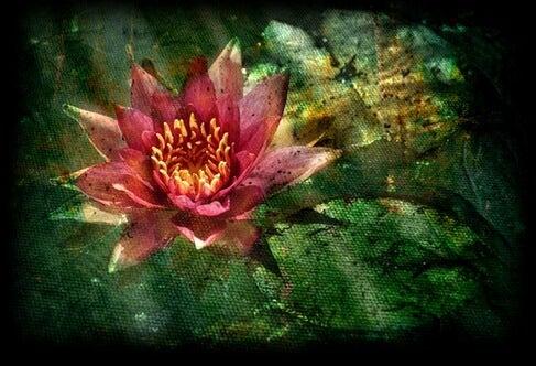Tegenslag Overwinnen Net Als Deze Rode Lotusbloem