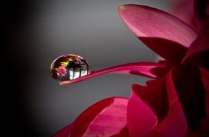 Een Druppel Regen Op Een Roze Bloem Als Symbool Voor De Tranen Op Onze Wangen Wanneer We Hartverscheurend Huilen