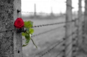 Een Rode Roos In Een Hek Van Prikkeldraad Als Symbool Voor Iemands Pijn Na Verlies