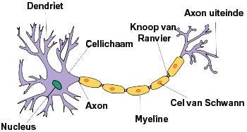 Zenuwcel Bij De Ziekte Van Alzheimer
