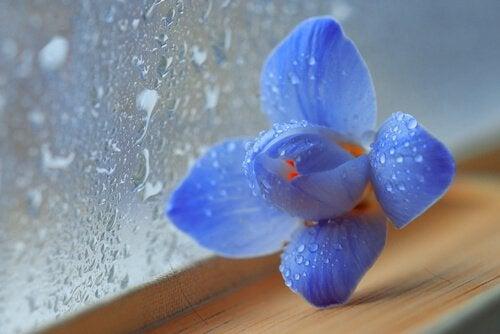 Blauwe bloem naast een nat raam