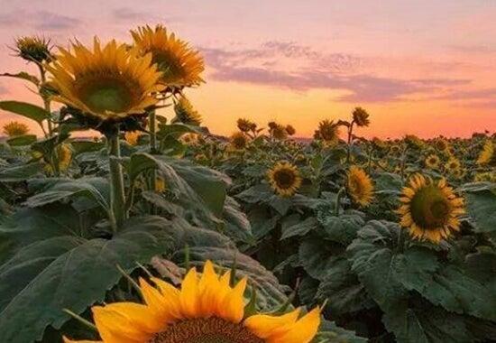 Een veld vol met zonnebloemen bij zonsondergang