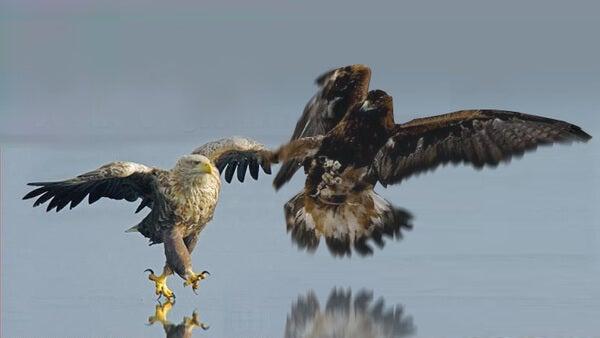 Adelaars die over het water vliegen