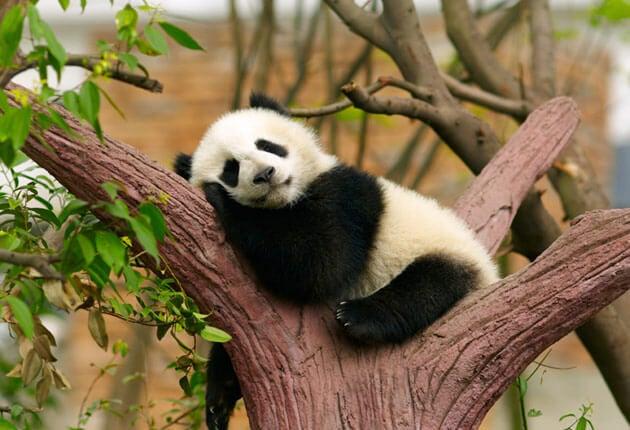 Panda die lekker ligt te luieren en geen behoefte heeft aan de 1-minuutregel