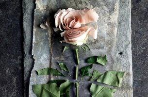 Roze roos die in stukken is gehakt en een voorbeeld is van passief geweld