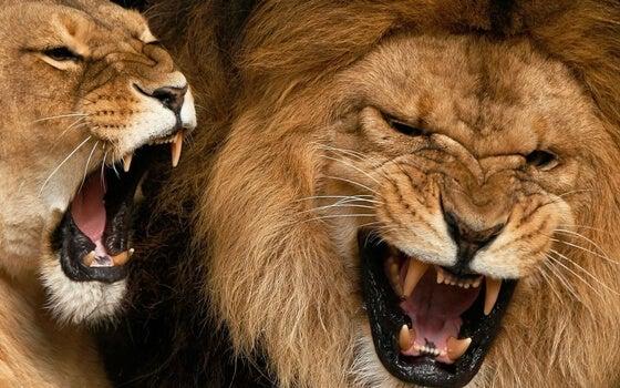 Brullende leeuwen die schreeuwen als communicatiemiddel gebruiken