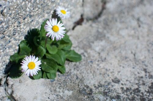 Madeliefjes groeien uit de rots, als symbool voor de veerkracht van slachtoffers