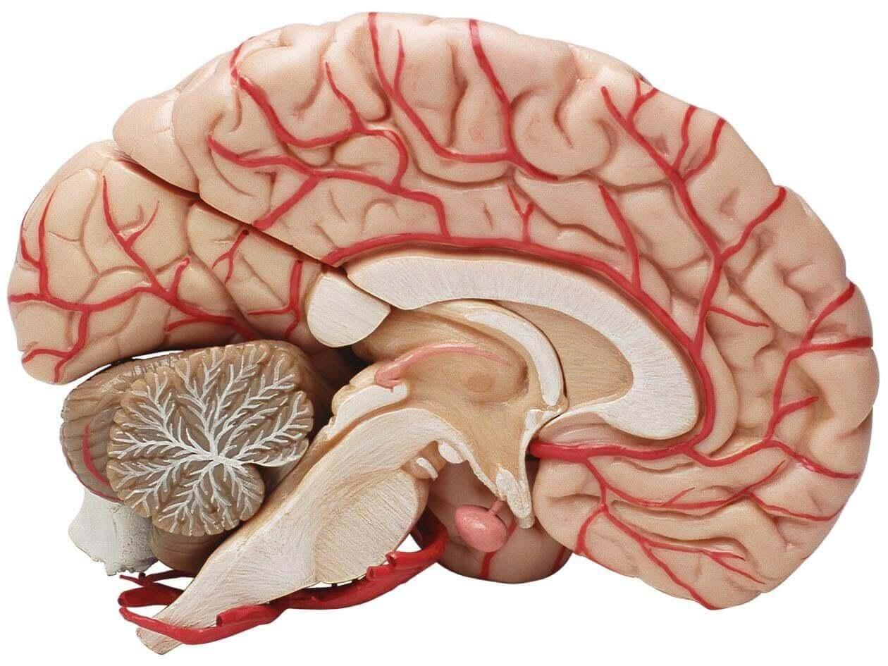 Een doorsnede van de hersenen