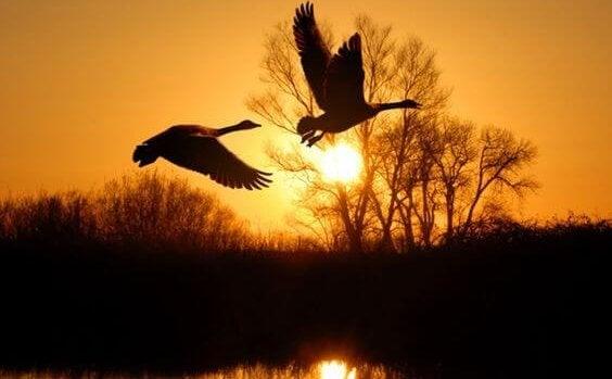 Eenden die vliegen bij zonsondergang