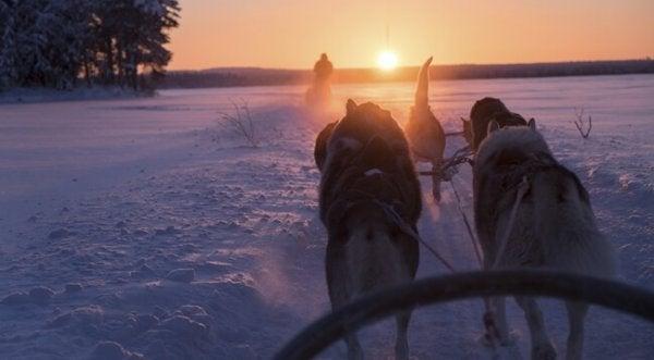 Finland en honden die een slee trekken