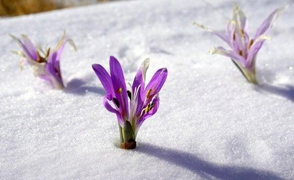 Bloemen die groeien in de sneeuw, een voorbeeld van sisu