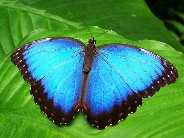 Van rups tot een zeer mooie blauwe vlinder, een voorbeeld van transformatie
