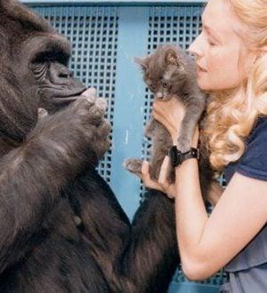 Het verhaal van Koko, de slimste gorilla ter wereld