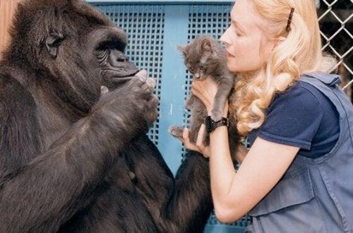 Het mooie verhaal van Koko, de slimste gorilla ter wereld