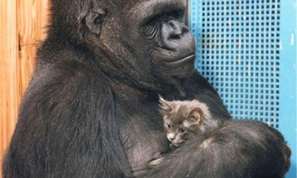 De slimste gorilla met een klein poesje, want dat is het verhaal van Koko