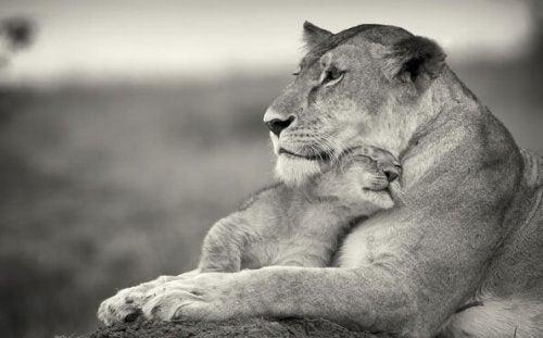Leeuwin met jong