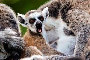 Lemur die gaapt