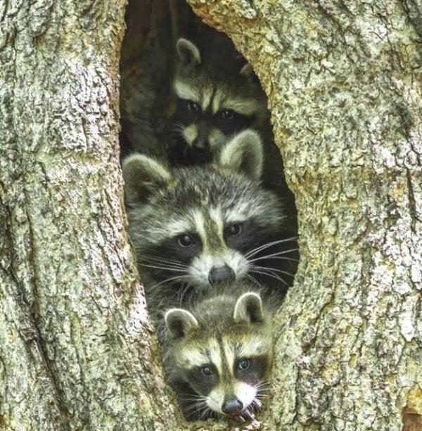 Wasberen in een boom