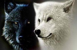 Cherokee legende over twee wolven