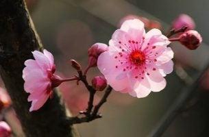 Japanse kersenbloesem, sakura, als symbool voor de Japanse psychologie