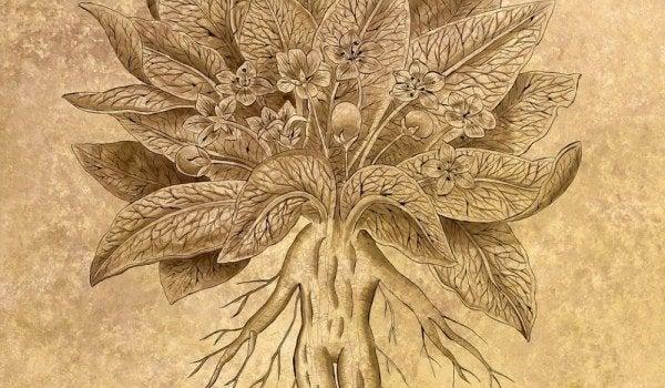 Mandragora plant