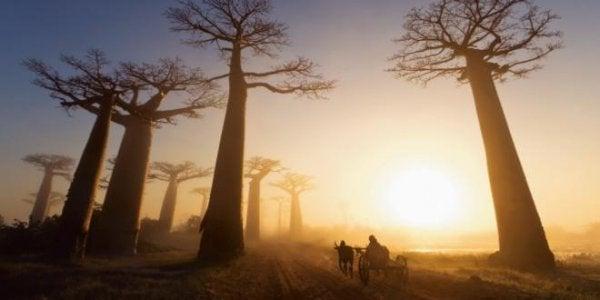 Baobab bomen in de zonsondergang