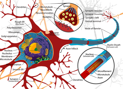 De eigenschappen van neurotransmitters