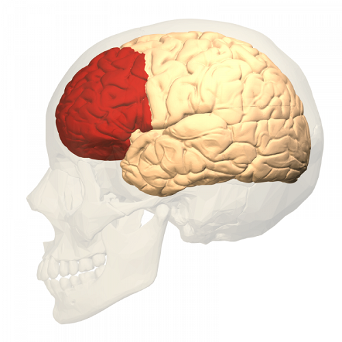 De prefrontale cortex