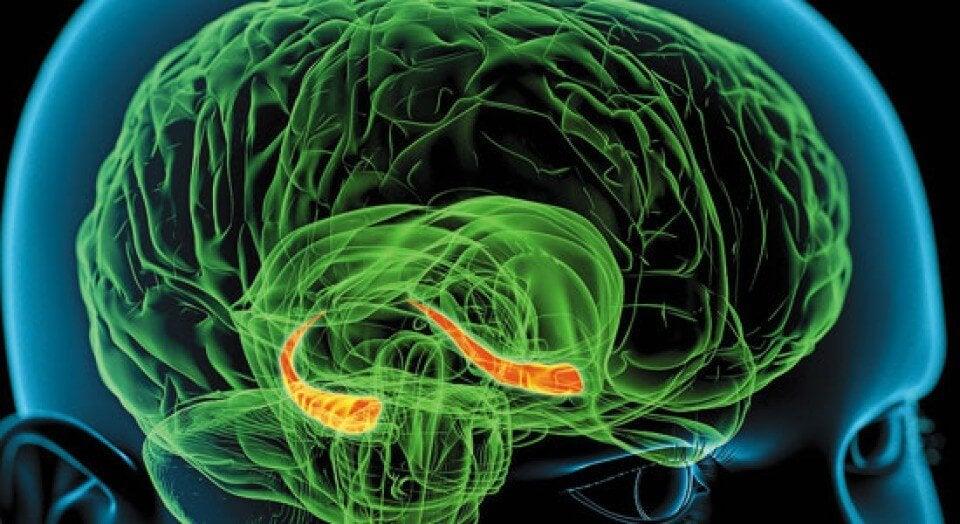 De hippocampus in de hersenen