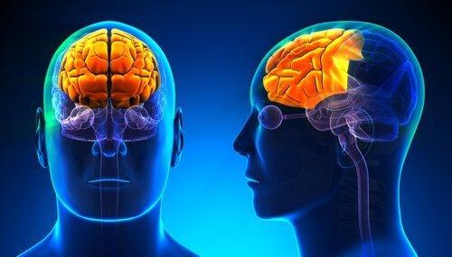 Afbeelding van de menselijke hersenen