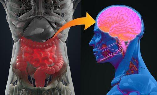 De hersenen en de spijsvertering