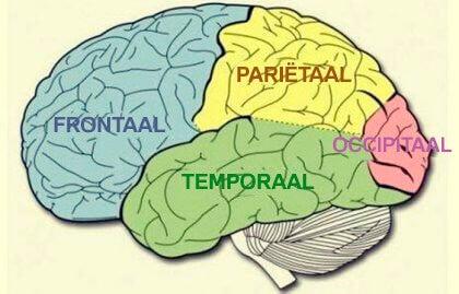 Hersenkwabben: kenmerken en functies