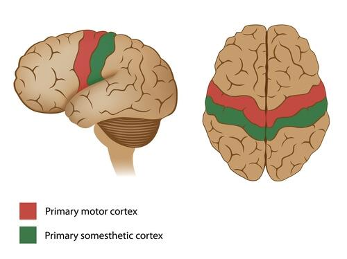 De motorische cortex