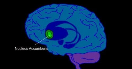 De nucleus accumbens in de hersenen
