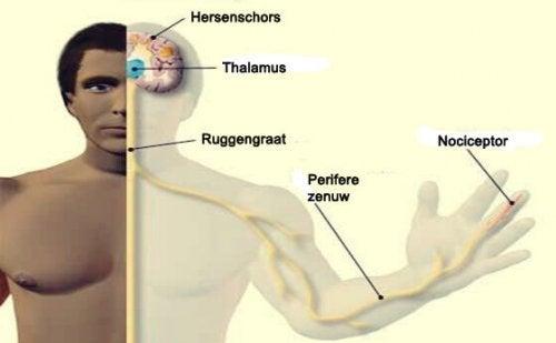 De plekken waar nociceptoren zich bevinden