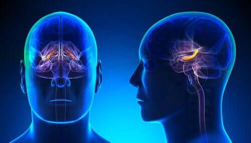 Een afbeelding van de hersenen