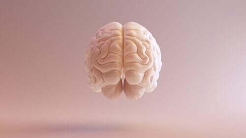 De voorkant van een stel hersenen