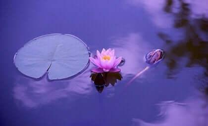 Een lotusbloem in het water