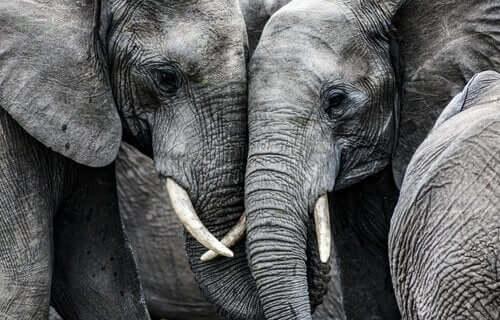 Twee verdrietige olifanten met hun hoofden tegen elkaar