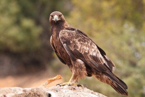 Een adelaar op een rots