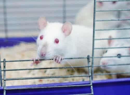 Het rattenpark-experiment: wat is dit?