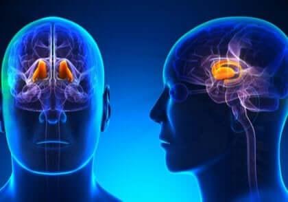 De rol van de thalamus