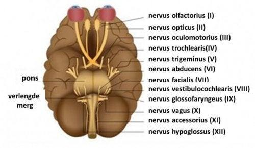 Een afbeelding van de hersenzenuwen