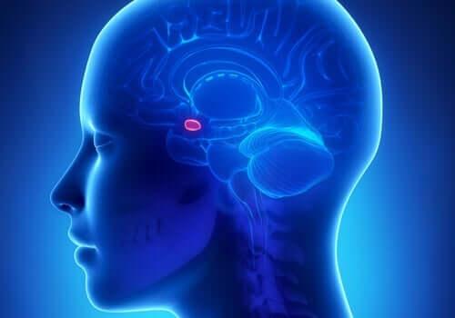 Een afbeelding van de amygdala