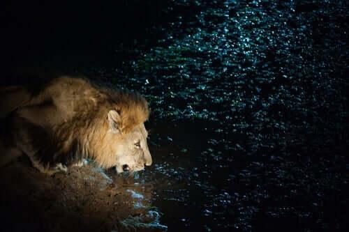 Een leeuw drinkt bij een meer, korte verhalen