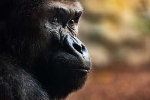 Drie ongelooflijke doodsrituelen van gorilla's